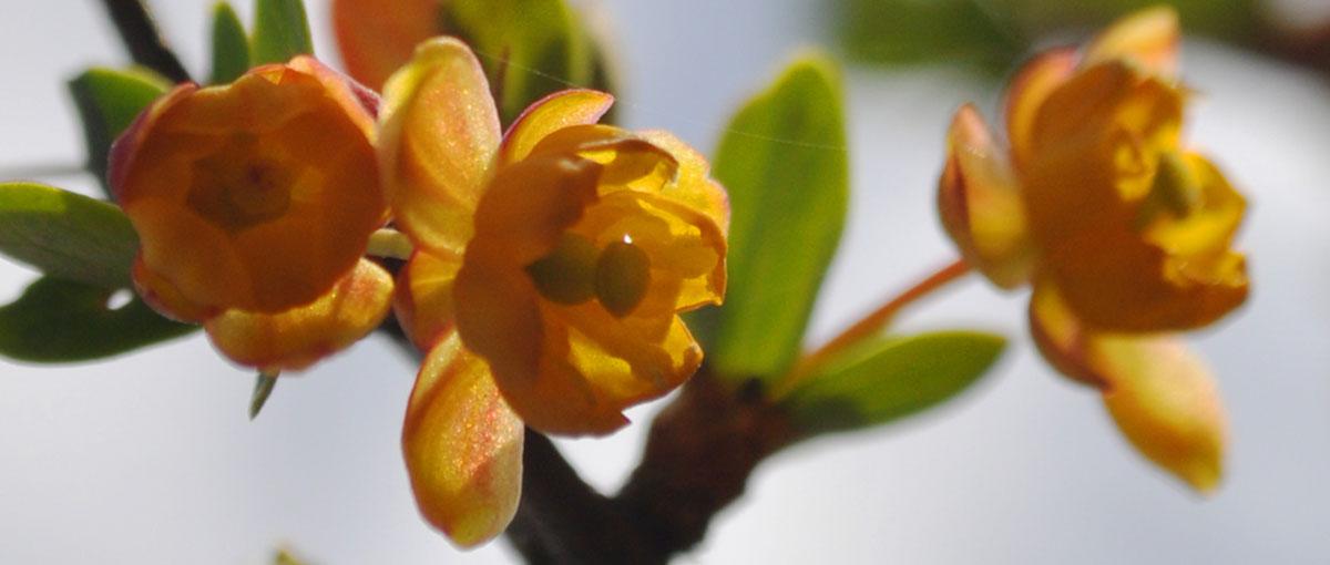 flor calafate