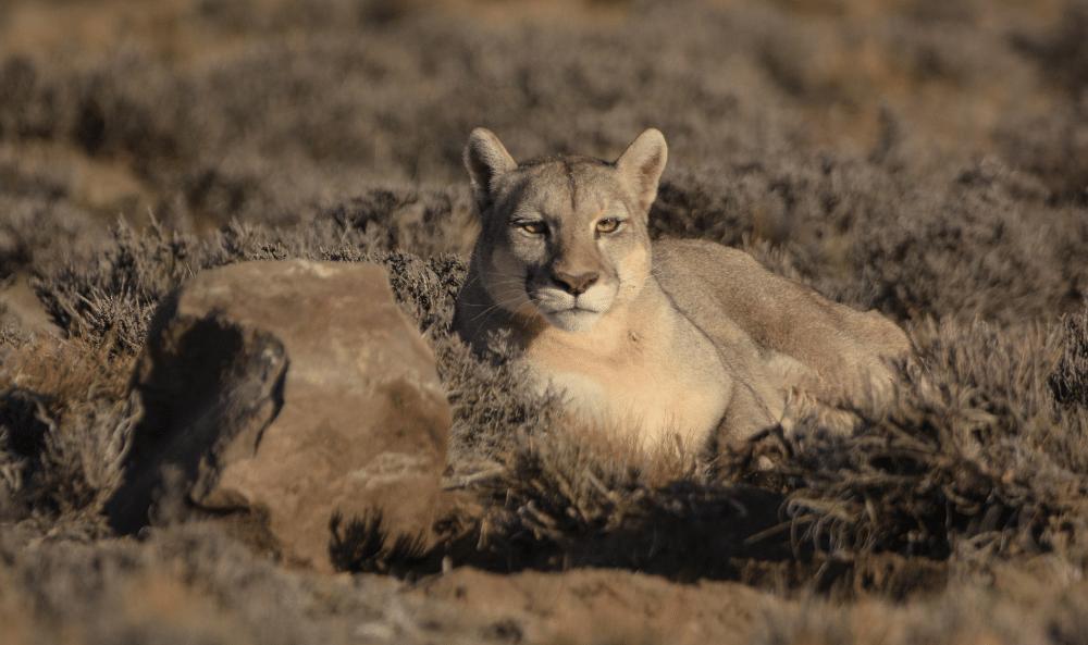 04 Puma en el Parque Patagonia©️ Franco Bucci Fundacion Rewilding Argentina 1